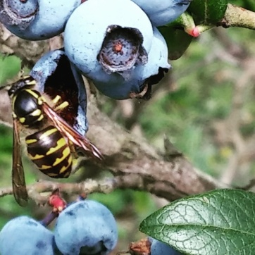 Yellow jacket blueberries